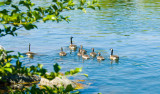 canadian Geese family on the Feather River.jpg