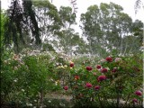 Rose garden on cool morning 09.01.jpg