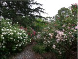 Rose garden on cool morning 09.02.jpg