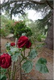 Rose garden on cool morning 09.03.jpg