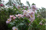 Rose garden on cool morning 09.05.2.jpg
