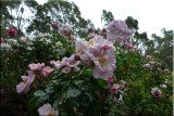 Rose garden on cool morning 09.05.jpg