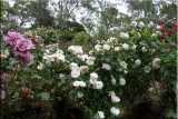 Rose garden on cool morning 09.07.jpg