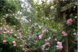Rose garden on cool morning 09.09.jpg