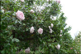 Rose garden on cool morning 09.11.jpg