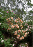 Rose garden on cool morning 09.13.jpg