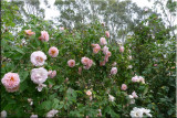 Rose garden on cool morning 09.17.jpg