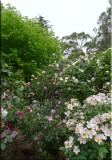 Rose garden on cool morning 09.20.jpg
