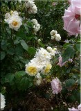 Rose garden on cool morning 09.21.jpg