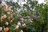 Rose garden on cool morning 09.23.jpg