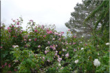 Rose garden on cool morning 09.25.jpg
