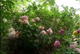 Rose garden on cool morning 09.27.jpg