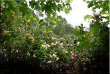 Rose garden on cool morning 09.28.jpg