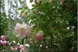 Rose garden on cool morning 09.29.jpg