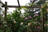 Rose garden on cool morning 09.41.jpg