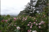 Rose garden on cool morning 09.44.jpg
