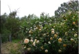 Rose garden on cool morning 09.46.jpg