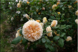 Rose garden on cool morning 09.47.jpg