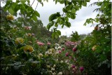 Rose garden on cool morning 09.53.jpg