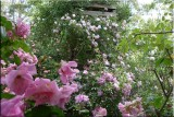Rose garden on cool morning 09.58.jpg