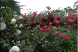 Rose garden on cool morning 09.64.jpg