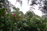 Rose garden on cool morning 09.66.jpg