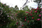 Rose garden on cool morning 09.67.jpg