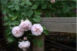 Rose garden on cool morning 09.69.jpg