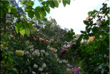 Rose garden on cool morning 09.71.jpg