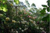 Rose garden on cool morning 09.71a.jpg