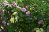 Rose garden on cool morning 09.72.jpg