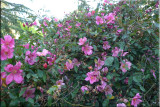 Rose garden on cool morning 09.73.jpg