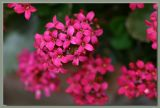 Cluster of kalanchoe blooms