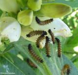 Baltimore checkerspot (Euphydryas phaeton) larvae