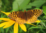 Great spangled fritillary (Speyeria cybele) on brown-eyed susan