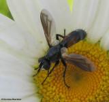 Tachinid fly (Cylindromyia interrupta), a wasp mimic