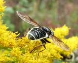 Hover fly (Sericomyia  militaris), wasp mimic