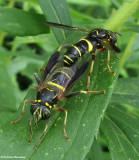 Hover fly (spilomyia sayi), vespid mimics