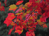 Red maple leaves (Acer rubrum)