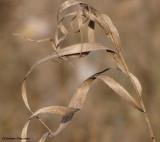 Grass tendrils