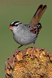 Bruant �ECouronne Blanche  / White-Crowned Sparrow