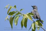 Moqueur Chat / Grey Catbird