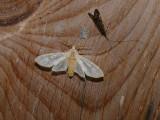 8203 -- Banded Tussock Moth -- Halysidota tessellaris .JPG