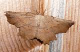 6726 – Obtuse Euchlaena Moth – Euchlaena obtusaria Athol 7-12-2008.JPG