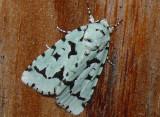 9281 -- Green Marvel Moth -- Agriopodes fallax  Athol 7-12-2008