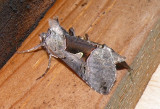 8923 - Large Looper Moth Autographa ampla