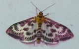 4952 -- Small Magpie Moth -- Eurrhypara hortulata, Athol, 7-12-2008