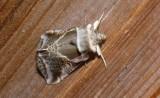 6235 -- Lettered Habrosyne Moth -- Habrosyne scripta 7-22-2008 Athol 1.JPG