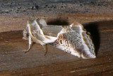 6235 -- Lettered Habrosyne Moth -- Habrosyne scripta 7-22-2008 Athol 4.JPG