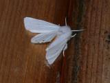 8137 -- Virginian Tiger Moth -- Spilosoma virginica Athol 7-22-2008 2.JPG